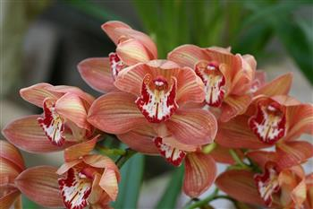 Cymbidium 'Red Beauty'